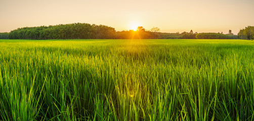 Poster Platteland Rice field with sunrise or sunset in moning light