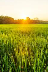 Fotobehang Platteland Rice field with sunrise or sunset in moning light