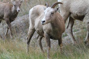 Little Bighorn Sheep at Radium Springs, Canada
