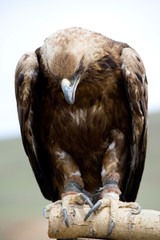 Golden Eagle with bent head