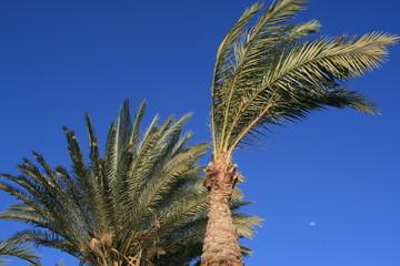 palmy daktylowe na wietrze na tle niebieskiego nieba z wschodzącym księżycem w upalny wakacyjny dzień