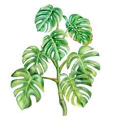 Green monstera leaf isolated on white background. Hand painted watercolor illustration. Realistic botanical art. Template