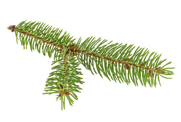 Fir tree branch isolated on a white background. Pine branch.