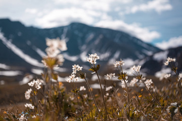 Close-up of flowers growing on field against snowcapped mountains