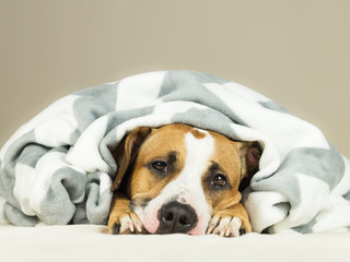 Funny young staffordshire terrier puppy lying covered in throw blanket and falling asleep. Close up image of tired or sick dog sleeping or resting under covers in bed in comfortable bedroom conditions