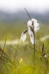 Common cottongrass close up