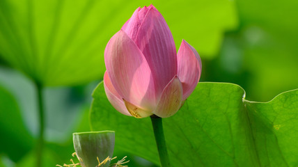 Close up view blooming pink lotus flower.