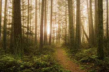 Pacific Northwest Forest on a Foggy Morning. During a beautiful sunrise the morning fog adds an atmospheric feel to the firs and cedars that make up this lovely island forest.