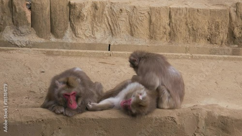 Japanese macaques living in captivity in a zoo  Filmed at Mount