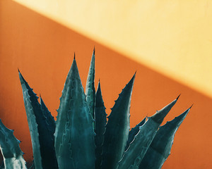 Agave Plant Against a Colorful Wall in Los Angeles, California.