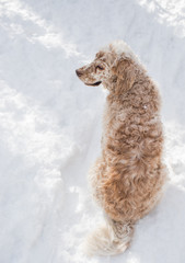 English Setter and Fresh Snowfall