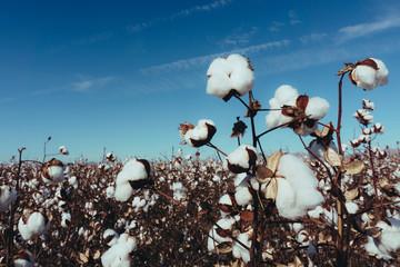 Cotton field landscape