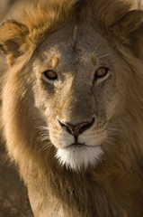Foto op Canvas Leeuw Africa, East Africa, lion, close-up