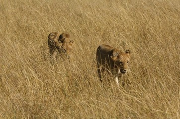 Lions walking in grass