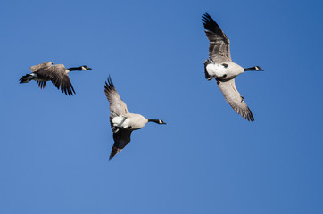 Canada Goose Flying Upside Down as The Flock Prepares to Land