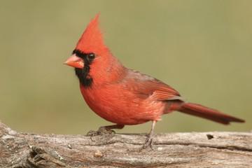 Fotoväggar - Male Cardinal On A Log