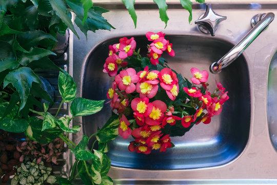 Watering indoor plants in sink