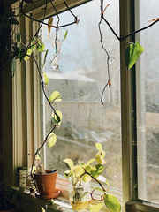 Plants and vines hanging on a kitchen window