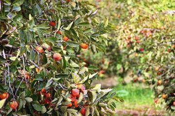 plantation of ripe persimmons