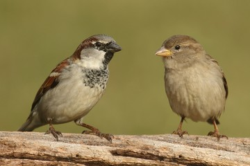 Fotoväggar - Pair of House Sparrows (Passer domesticus)