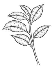Tea tree illustration
