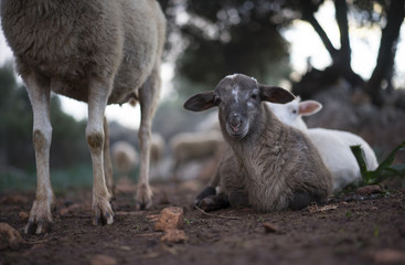 Flock of Mediterranean Sheep with Lambs in Olive Grove in Winter