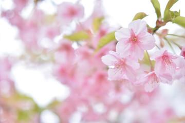 桜の花 早春