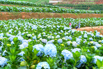 Lam Dong, Vietnam - November 28, 2017: Field blooming hydrangeas on hill beautiful winter morning. It attracts tourists to visit, photographic,  sights ecotourism garden in Lam Dong, Vietnam