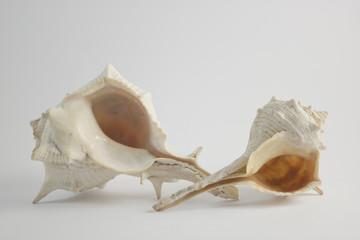 Double Sea Shells Horizontal View