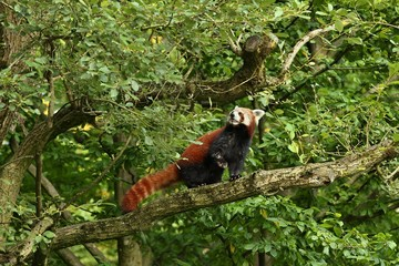 Beautiful endangered red panda on a green tree. Wildlife behind the bars. Red Panda. Great animal in the nature looking habitat.