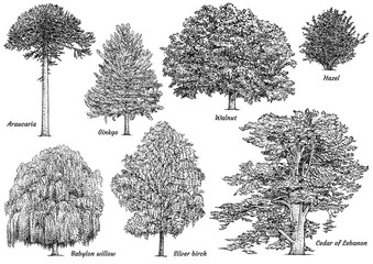 Tree collection illustration, drawing, engraving, ink, line art, vector