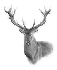 Portrait of Red Deer. Hand drawn illustration.