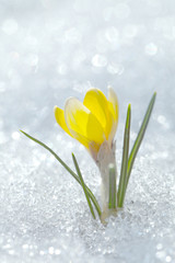 Crocus yellow on a background of brilliant white snow. The first spring flower blossomed in the garden on a sunny day.