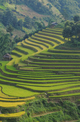 Printed roller blinds Rice fields Terraced rice field in Northern Vietnam