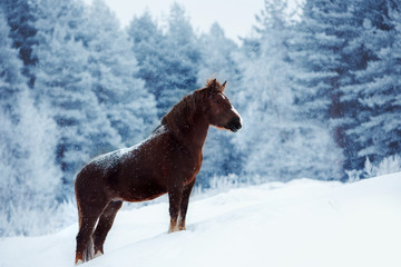 Clydesdale horse staing on a snowy field in winter