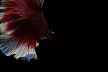 Capture the moving moment of Betta fish isolated on black background