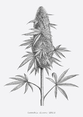 Cannabis flower hand drawing vintage engraving style isolate on white background