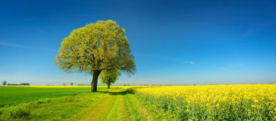 Alte Lindenbäume säumen einen Feldweg durch Raps- und Getreidefelder im Frühling Wall mural