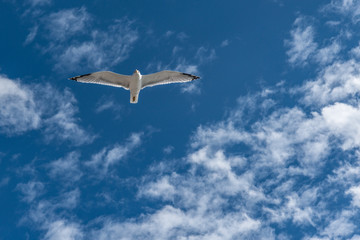Seagull flying above the sea.