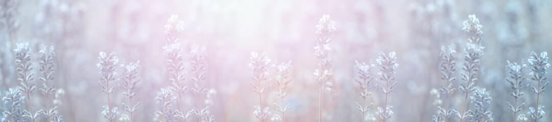 panoramic field lavender flowers