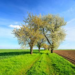 Fototapete - Kirschbäume blühen am Feldweg, Kulturlandschaft im Frühling