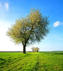 Fototapete - Landschaft im Frühling, Großer Kirschbaum in voller Blüte, Feldweg durch grüne Felder