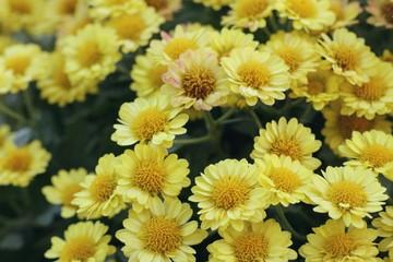 Chrysanthemum flower in natural