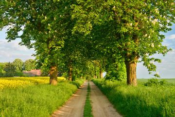 Wall Mural - Feldweg durch Allee mit blühenden Kastanienbäumen im Frühling
