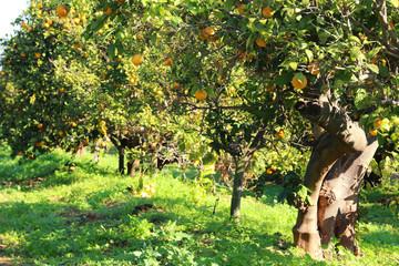 Rural landscape image of orange trees in the citrus plantation.