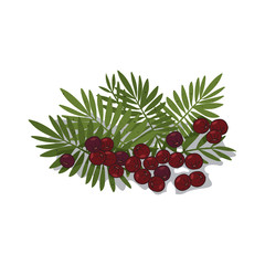 Isolated clipart of plant Acai Palm on white background. Botanical drawing of herb Acai palm with fruits and leaves