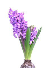 close on purple hyacinth blooming isolated on white background