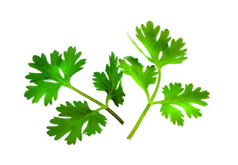 fresh coriander leaves over white