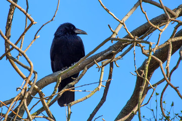 Carrion crow or Corvus corone perches on branch