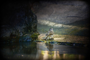 Streak-eared bulbul bird playing in water and sunlight in the morning. Dark around and copy space.